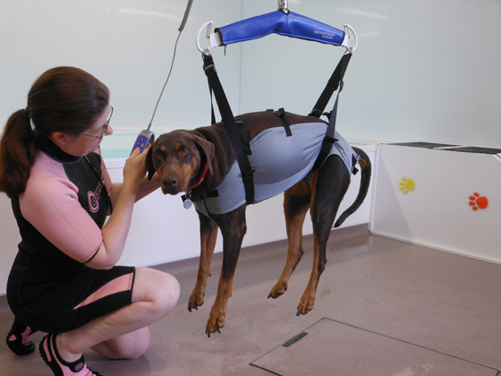 Dog harness being used at Squirrell Lodge Hydrotherapy Centre